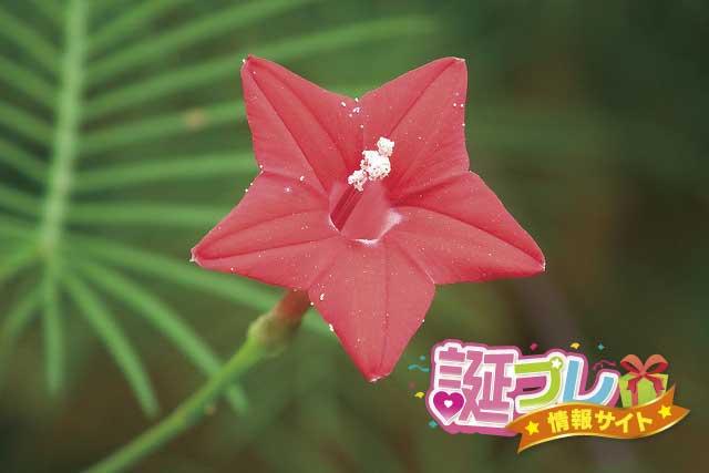 ルコウソウの花の画像