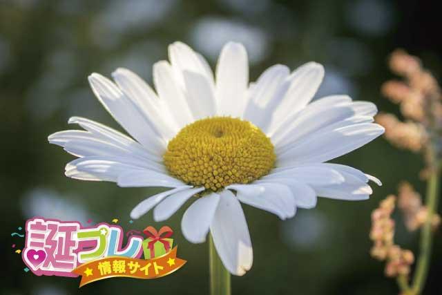 デイジーの花の画像