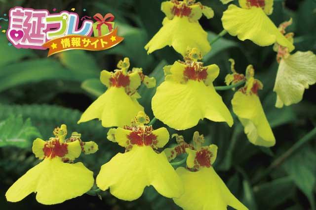 オンシジューム花の画像