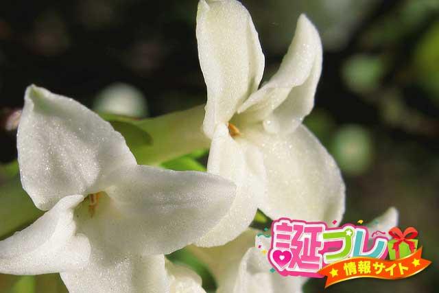 沈丁花の花の画像