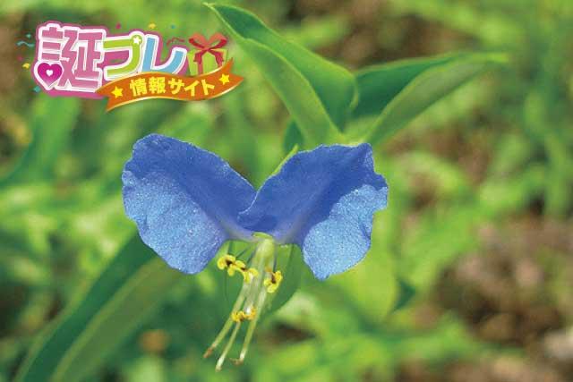 露草の花の画像