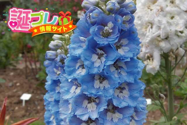 デルフィニウムの花の画像