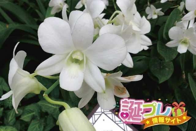 デンドロビウムの花の画像
