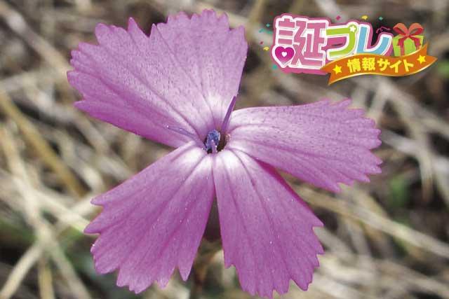 なでしこの花の画像