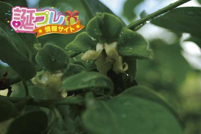 柿の花の画像