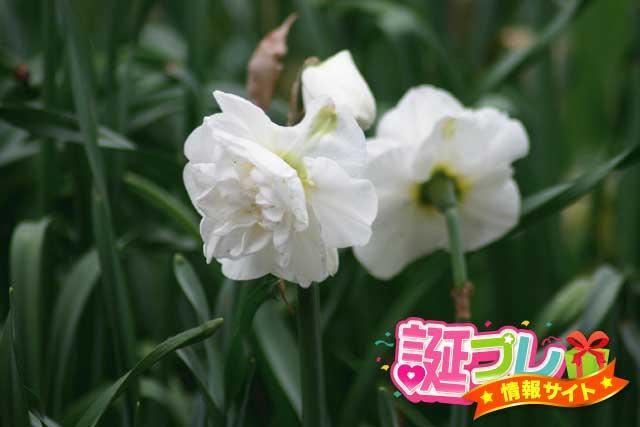 八重咲き水仙の画像