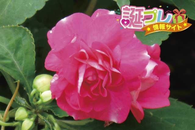 八重咲きインパチェンスの画像