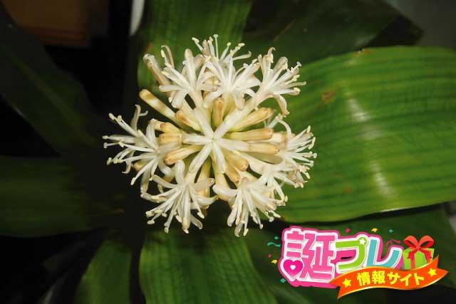 ドラセナ・フラグランス・マッサンゲアナの花の画像