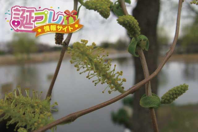 雲竜柳の花の画像