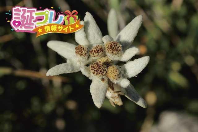 エーデルワイスの花の画像