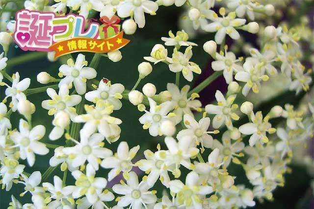 ニワトコの花の画像