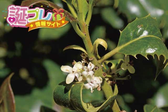 セイヨウヒイラギの花の画像