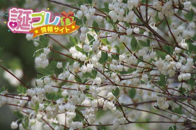 ドウダンツツジの花の画像