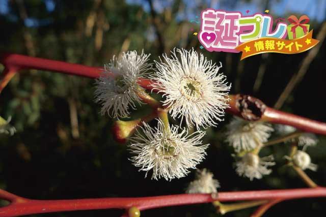 ユーカリの花の画像