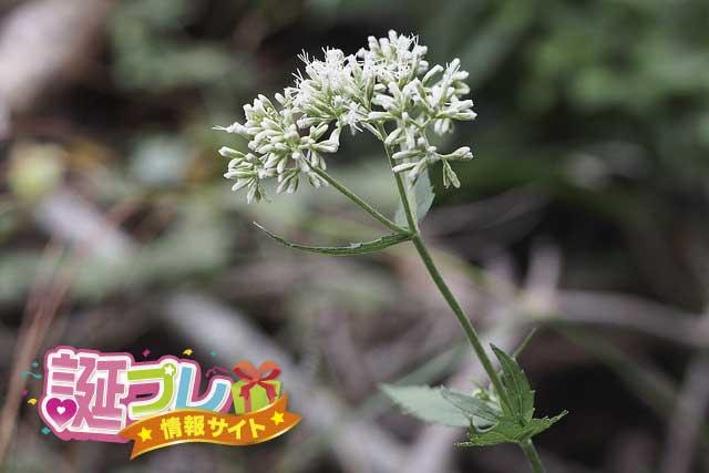 ヒヨドリバナの花の画像
