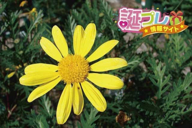 ユリオプスデージーの花の画像