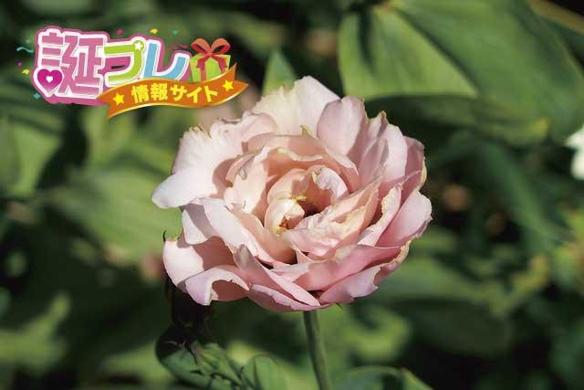 トルコキキョウの花の画像