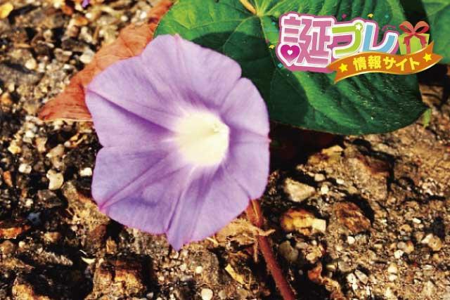 昼顔の花の画像