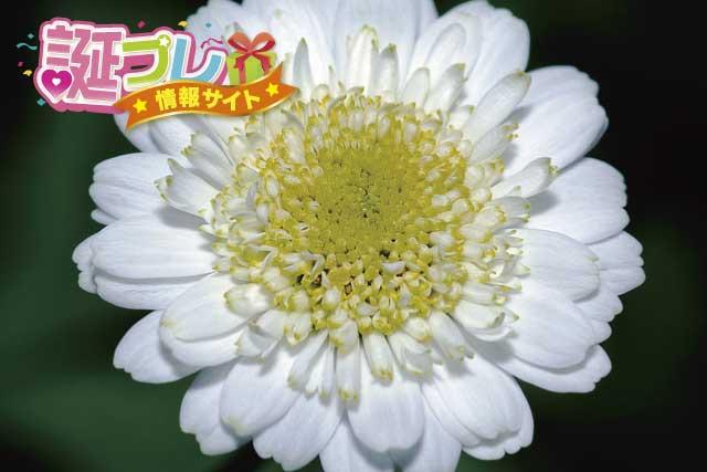 マトリカリアの花の画像