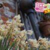 キルタンサスの花言葉は恥ずかしがり屋に贈る言葉