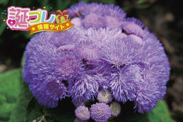 アゲラタムの花の画像