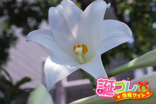 テッポウユリの花の画像