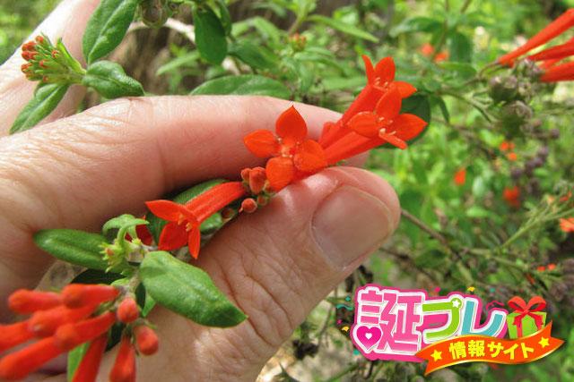 ブバルディアの花の画像