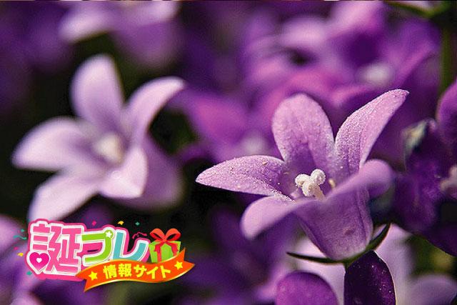 ベルフラワーの花の画像