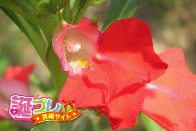 鳳仙花の花の画像