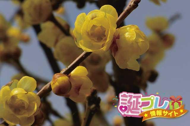 蝋梅の花の画像