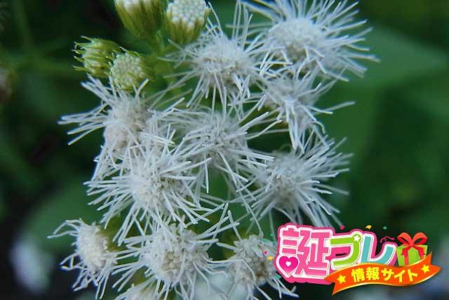 フウセンカズラの花の画像