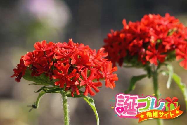 センノウの花の画像