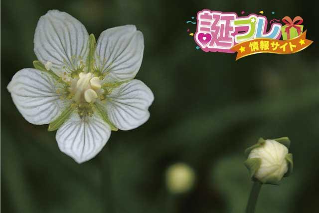 ウメバチソウの花の画像