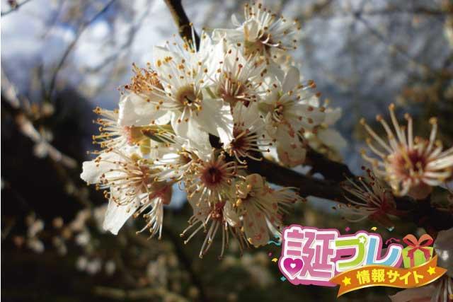 セイヨウスモモの花の画像