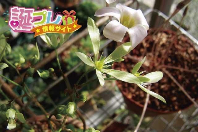 ダイモンジソウの花の画像
