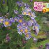 紫苑(シオン)の花言葉は、思い出に関係ある4つの言葉