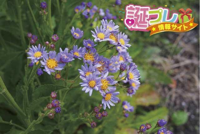 紫苑の花の画像