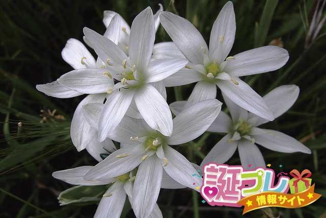 オーニソガラムの花の画像