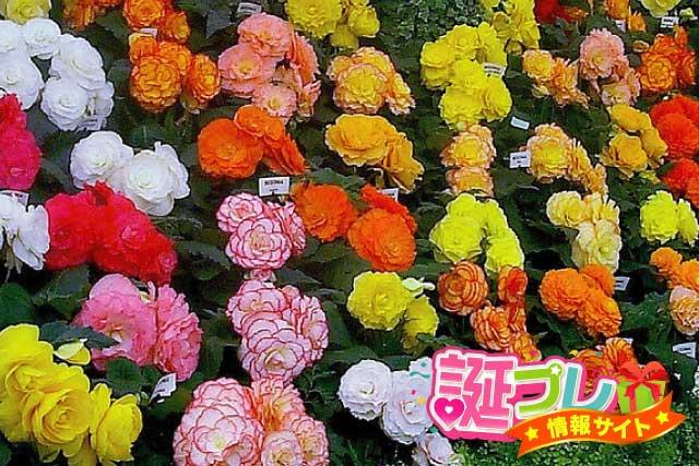 ベゴニアの花の画像