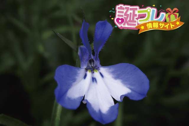 ロベリアの花の画像