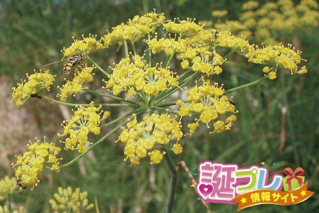 ウイキョウの花の画像