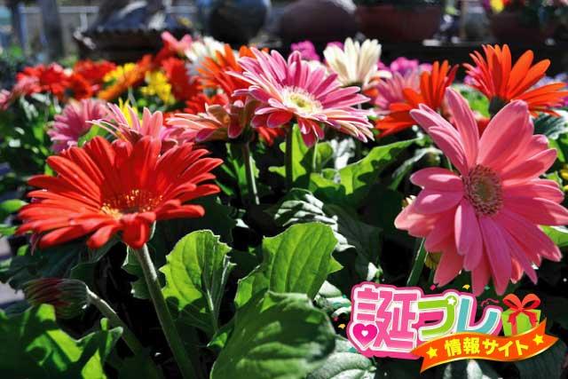 ガーベラの花の画像