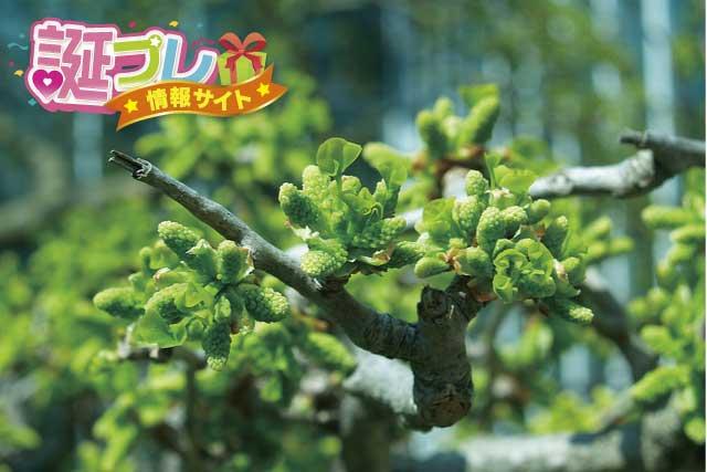 銀杏(イチョウ)の花の画像