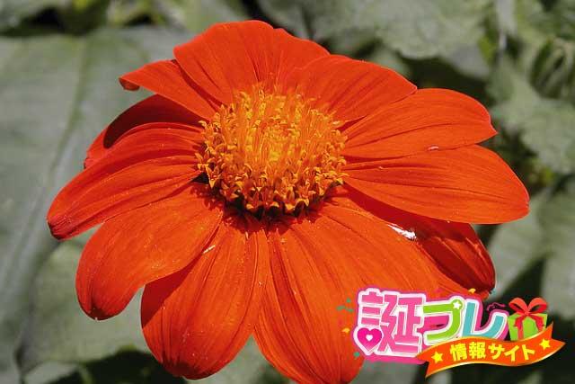 チトニアの花の画像