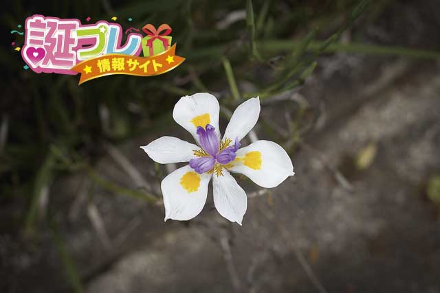 モレアの花の画像
