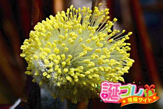 猫柳の花の画像