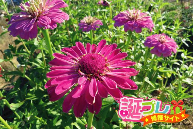 百日草の花の画像