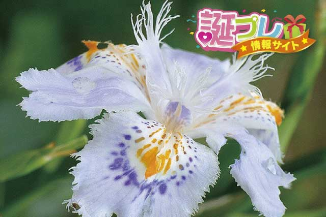 シャガの花の画像