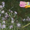 カワラナデシコの花言葉は芯のある女性に贈りたい花言葉