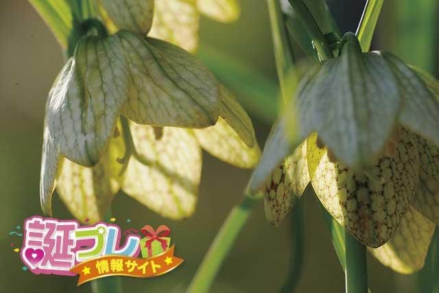 バイモユリの花の画像